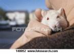 marmut albino