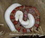 ratsnake albino