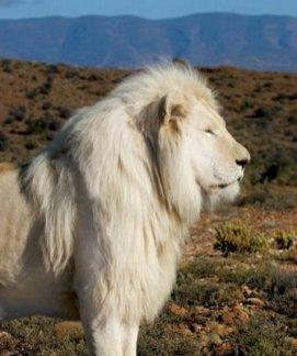 singa albino2