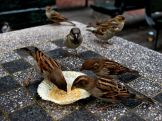 A pack of sparrows pick anxiously at a cupcake wrapper in New York City.