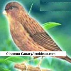 Cinamon Canary