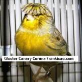 Gloster Canary Corona