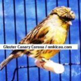 Gloster Canary Corona2