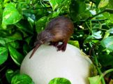 Kiwi di atas telur - The kiwi is the sole survivor of an ancient order of birds, including the now extinct moas of New Zealand - National Geographic