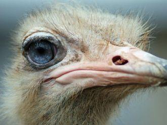 Mata biru si burung unta di Kebun Binatang Louisville Zoo - National Geographic