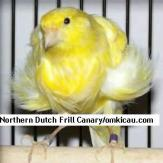 Northern Dutch Frill Canary
