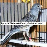 Spanish Timbrado Canary (blue)