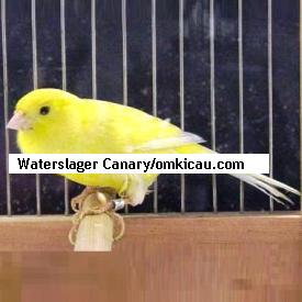 Waterslager Canary