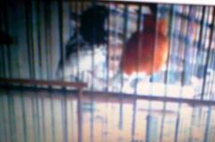 Eksperimen penangkaran anis merah dan anis kembang (7)