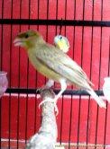 Gambar-gambar lab penangkaran burung kenari SmartBF (15)