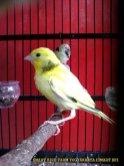 Gambar-gambar lab penangkaran burung kenari SmartBF (16)