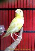 Gambar-gambar lab penangkaran burung kenari SmartBF (17)