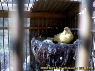 Gambar-gambar lab penangkaran burung kenari SmartBF (20)