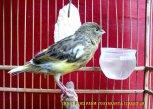 Gambar-gambar lab penangkaran burung kenari SmartBF (22)