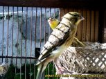 Gambar-gambar lab penangkaran burung kenari SmartBF (25)