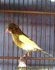 Gambar-gambar lab penangkaran burung kenari SmartBF (27)