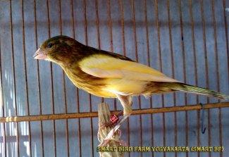 Gambar-gambar lab penangkaran burung kenari SmartBF (30)