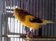 Gambar-gambar lab penangkaran burung kenari SmartBF (32)