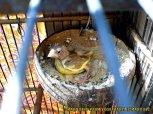 Gambar-gambar lab penangkaran burung kenari SmartBF (35)