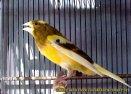 Gambar-gambar lab penangkaran burung kenari SmartBF (43)
