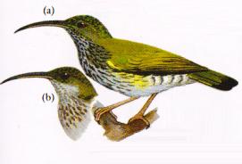 Burung Pijantung Gunung atau Arachnothera affinis