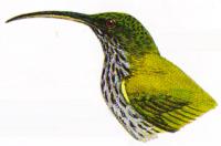 Burung Pijantung Kalimantan atau Arachnothera eferetti