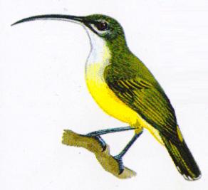 Burung Pijantung Kecil - Arachnothera Longirosta