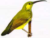 Burung Pijantung Telinga Kuning atau Arachnothera chrysogenys