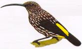 Burung Pijantung Whitehead atau Arachnothera juliae