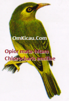 Gambar Burung Opior mata-hitam atau Chlorocharis emiliae