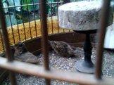 Kawin 3 - Burung branjangan di padepokan Gampit Om Ari Suprawadi