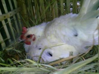 Ayam Ketawa Cipta Cilacap (1)
