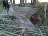 Ayam Ketawa Cipta Cilacap (5)