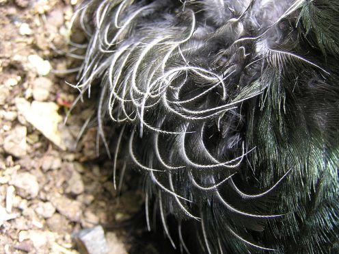 Bulu-bulu indah di leher tui