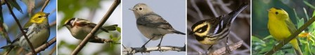 Burung-burung warbler