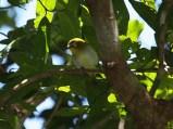 Burung Pleci atau Kacamata Kai - Zosterops grayi