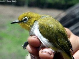 Burung pleci atau Kacamata Sulawesi - Zosterops consobrinorum