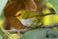 Burung pleci atau Kacamata Wallacea - Zosterops wallacei