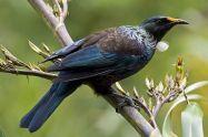 Burung tui burung pintar dari Selandia Baru