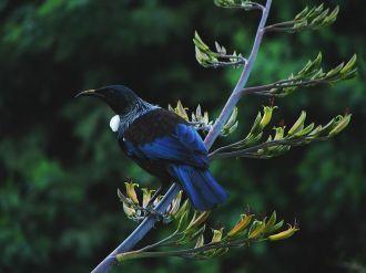 Burung tui, cantik menawan