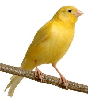 Wallpaper, gambar, foto, lukisan burung kenari (picture, painting and photo canary) (12)