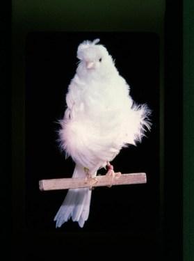 Wallpaper, gambar, foto, lukisan burung kenari (picture, painting and photo canary) (17)