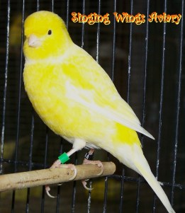 Wallpaper, gambar, foto, lukisan burung kenari (picture, painting and photo canary) (19)