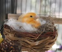 Wallpaper, gambar, foto, lukisan burung kenari (picture, painting and photo canary) (26)