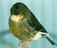 Wallpaper, gambar, foto, lukisan burung kenari (picture, painting and photo canary) (3)