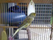 Wallpaper, gambar, foto, lukisan burung kenari (picture, painting and photo canary) (41)