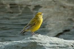Wallpaper, gambar, foto, lukisan burung kenari (picture, painting and photo canary) (48)