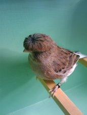 Wallpaper, gambar, foto, lukisan burung kenari (picture, painting and photo canary) (6)