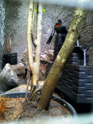 Kandang penangkaran murai batu yang asri di halaman rumah Om Gun (4)