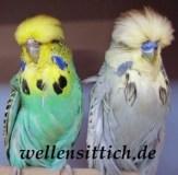 Gambar Burung Parkit 10